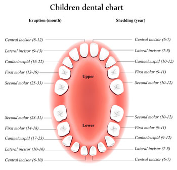 Tooth Eruption Chart - Pediatric Dentist in Sandpoint, ID